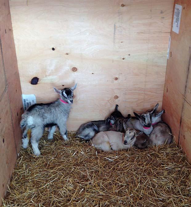 Goats_AfterglowFarm